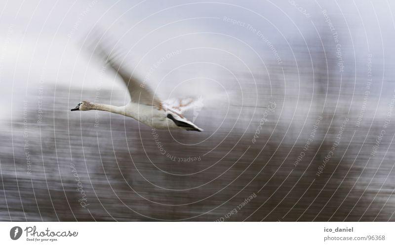 Auf und Davon! - Schwan Umwelt Natur Tier Vogel Flügel 1 Geschwindigkeit Isar München flattern Wildnis Spannweite Farbfoto Außenaufnahme Bewegungsunschärfe