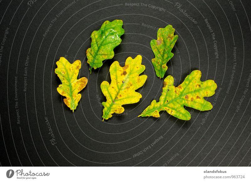 Bunte Blätterdekoration Design Leben Dekoration & Verzierung Natur Pflanze Herbst Baum Blatt dunkel frisch natürlich gelb grün Farbe Hintergrund Botanik