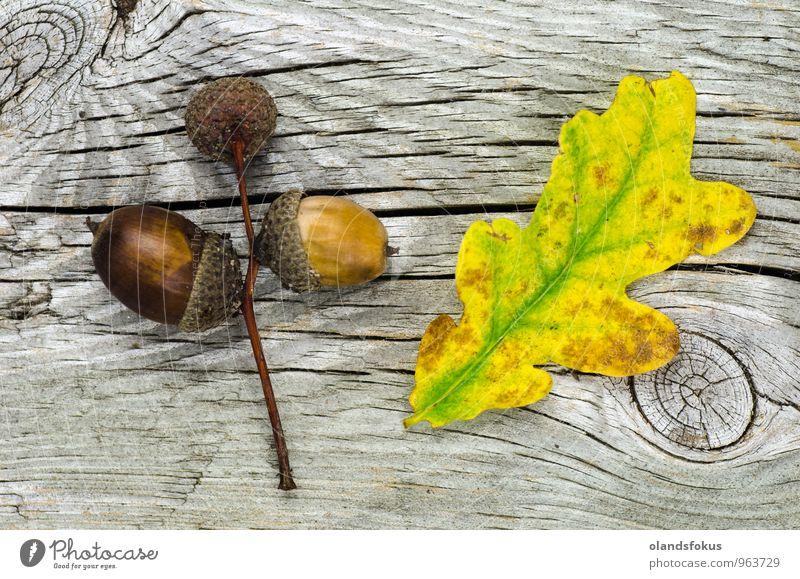 Herbstliche Stilllebendekoration Design Leben Dekoration & Verzierung Natur Pflanze Baum Blatt frisch natürlich gelb grün Farbe Eicheln Hintergrund Botanik