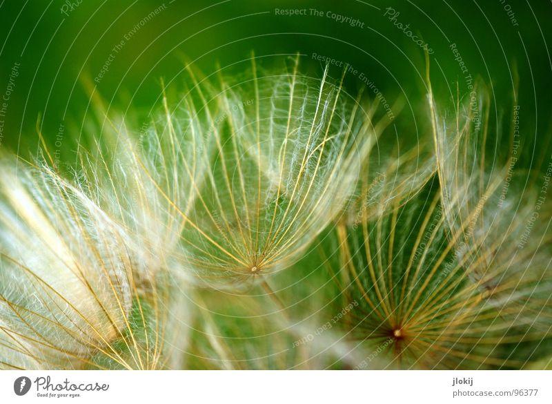 Komm kuscheln... Natur grün Pflanze Blume ruhig Wiese Blüte Stimmung Wind fliegen weich Blühend zart Löwenzahn blasen Schweben