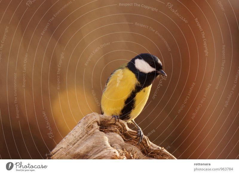 Cinciallegra (Parus major) Tier Wildtier Vogel 1 genießen Blick stehen warten authentisch einfach elegant Fröhlichkeit frisch lustig nah natürlich positiv schön