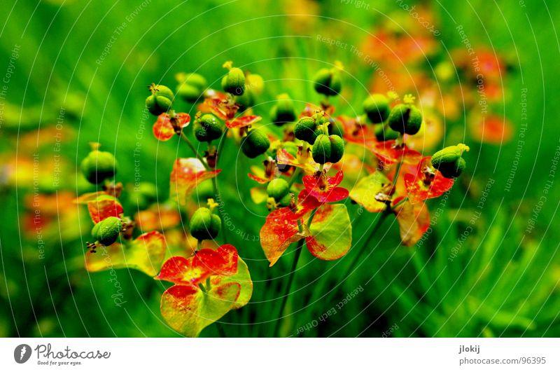 So Zeugs halt Blüte Blume grün rot Wiese klein Fortpflanzung platzen Stengel Pflanze Lebewesen rund Gel mehrfarbig winzig knallig Frühling Jahreszeiten Samen