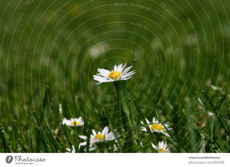 Gänseblümchen Zeit weiß grün Gras gelb nah Zoomeffekt Momo schön klein Blume Makroaufnahme Nahaufnahme Sommer white flower bulme Rasen grass Garten