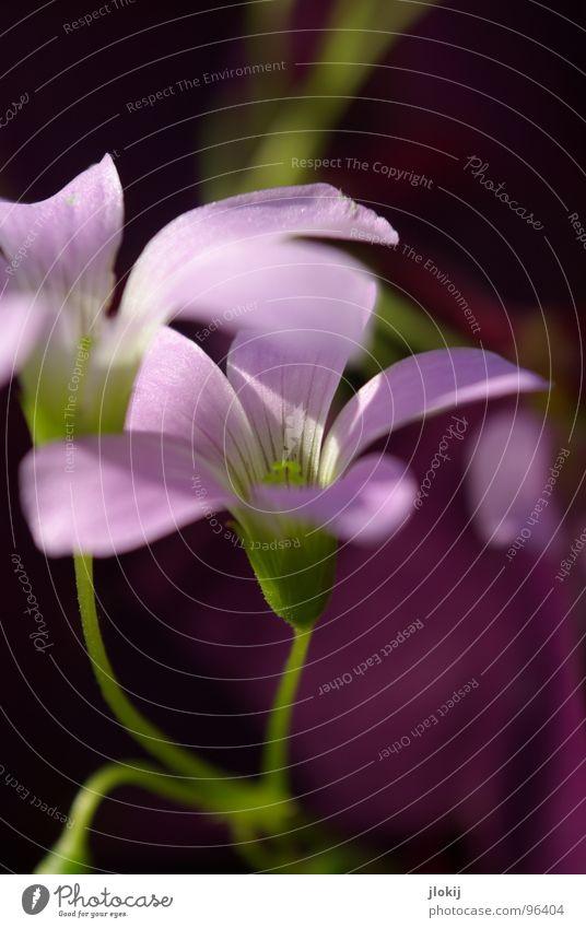 Lila Laune Blume Blüte violett Pflanze Wachstum Staubfäden Licht Stengel grün Strahlung 2 ruhig Gelassenheit zart Frühling Jahreszeiten Natur Blühend Nektar