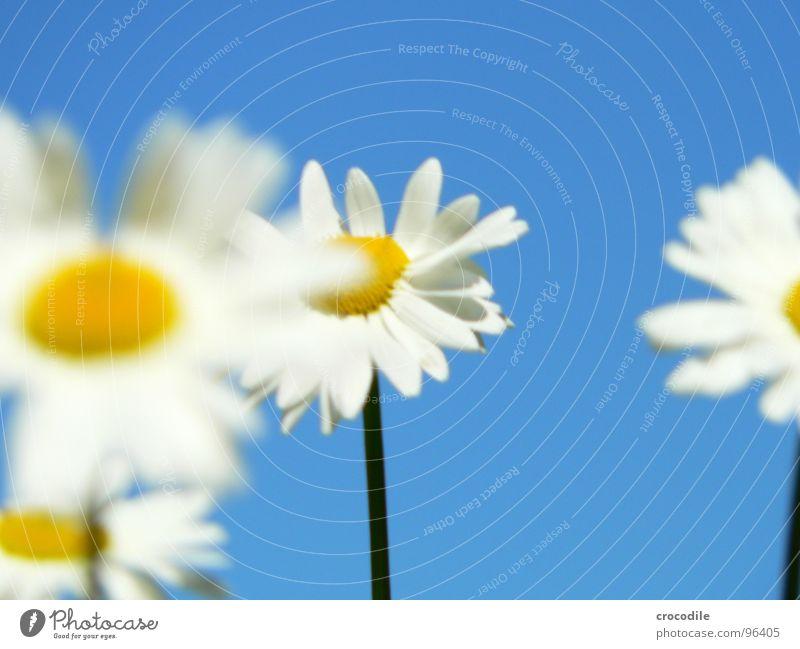 blümchenparade Blume Stengel Sommer stehen Unschärfe Frühling Frühlingsgefühle Blühend Pflanze Makroaufnahme Nahaufnahme maragariten blau Himmel