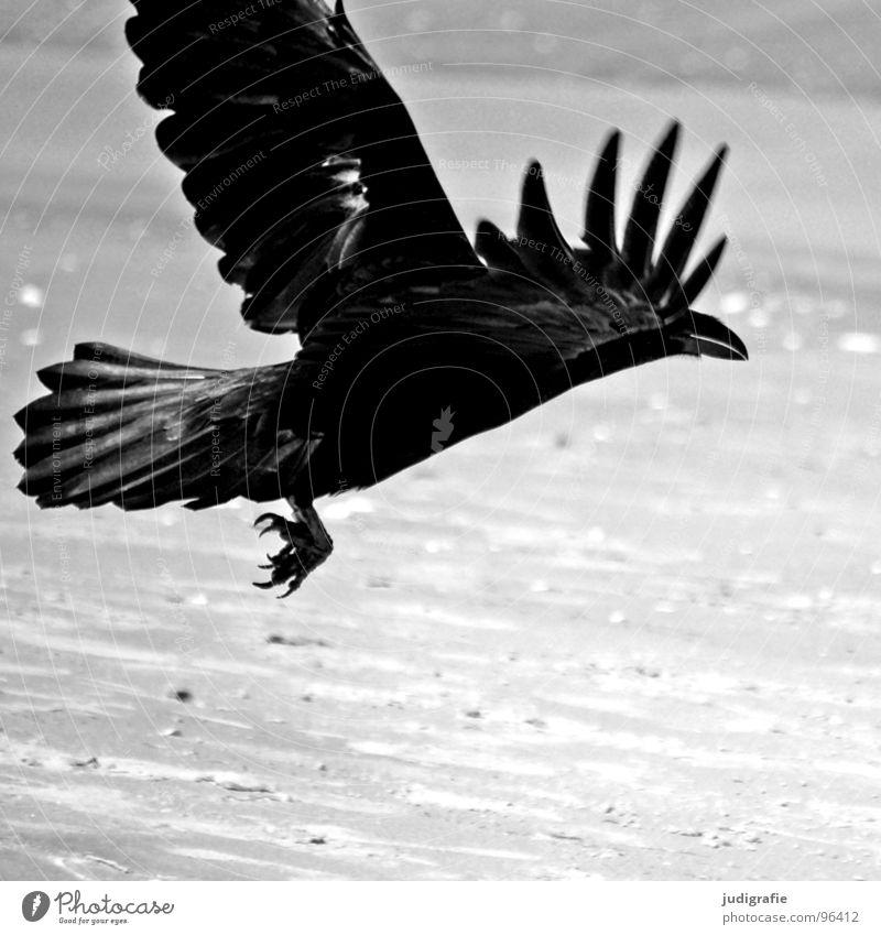 Schwarzer Vogel Krähe Aaskrähe Rabenvögel Tier Strand Küste Meer Schwung Feder schwarz grau Krallen Schwarzweißfoto Luftverkehr Beginn Sand Dynamik Kraft Flügel