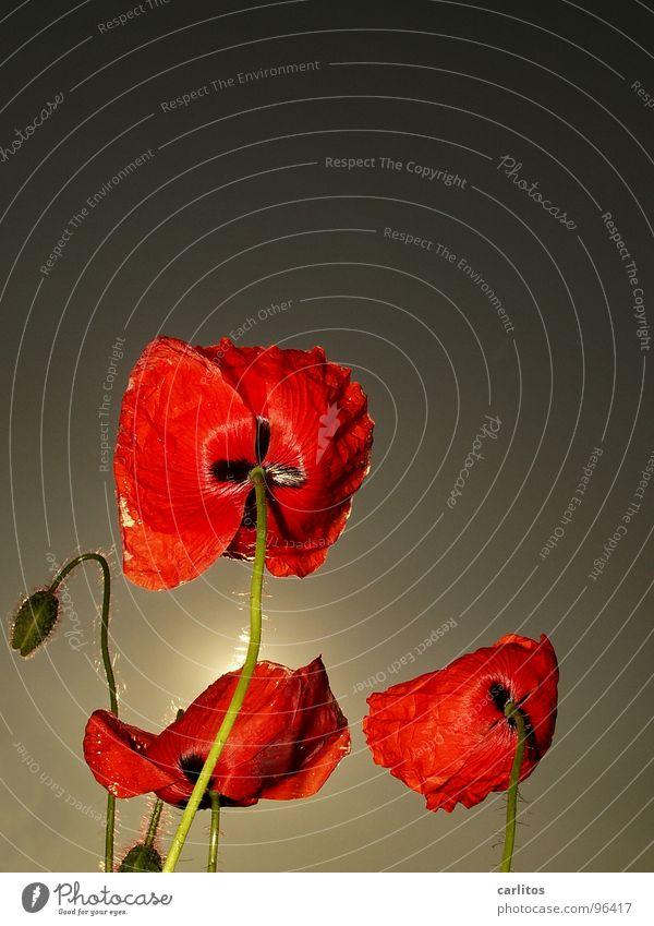 Heut' ist Mohntag ... Klatschmohn rot Feld Wiese Gras Gegenlicht Sommer Physik Blüte Schüchternheit verlegen Frühling Sonne Wärme Opium bringt Opi um wegdrehen