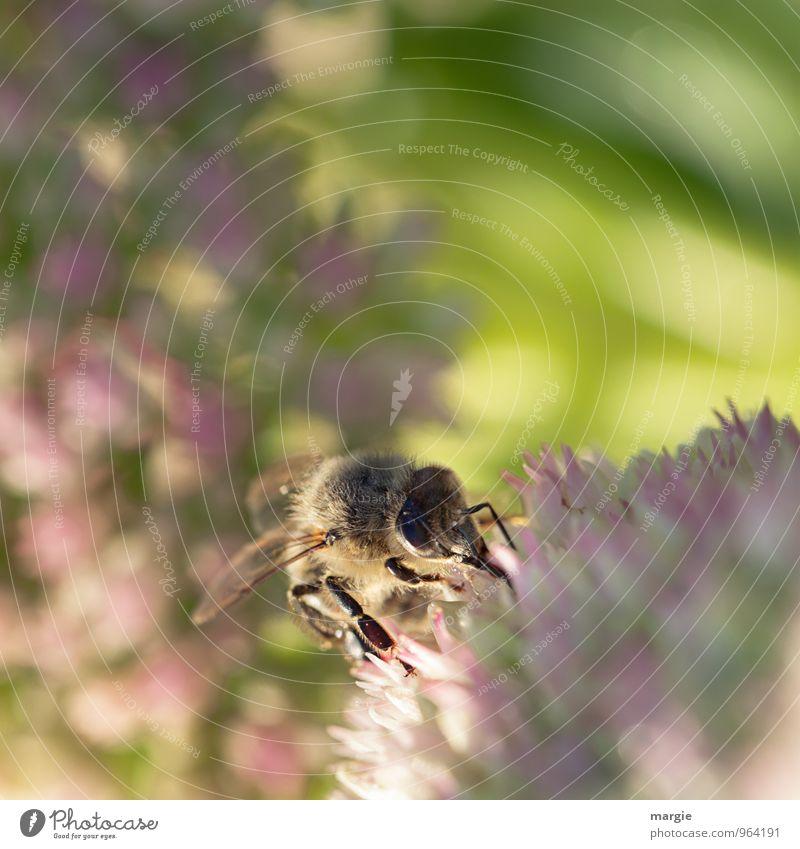 Eine Biene in Blüten Umwelt Natur Pflanze Tier Sonne Sonnenlicht Frühling Sommer Wetter Schönes Wetter Blume Nutztier 1 Arbeit & Erwerbstätigkeit leuchten süß