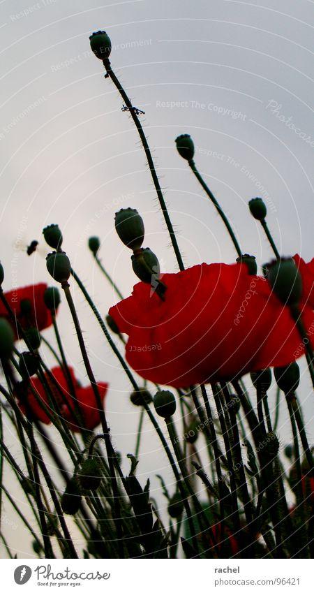 Farbe verloren... Mohn Klatschmohn Blume Feld Wiese Blüte Stengel Härchen Flaum Blühend zart welk Vergänglichkeit trist dunkel Trauer rot grün Insekt Biene