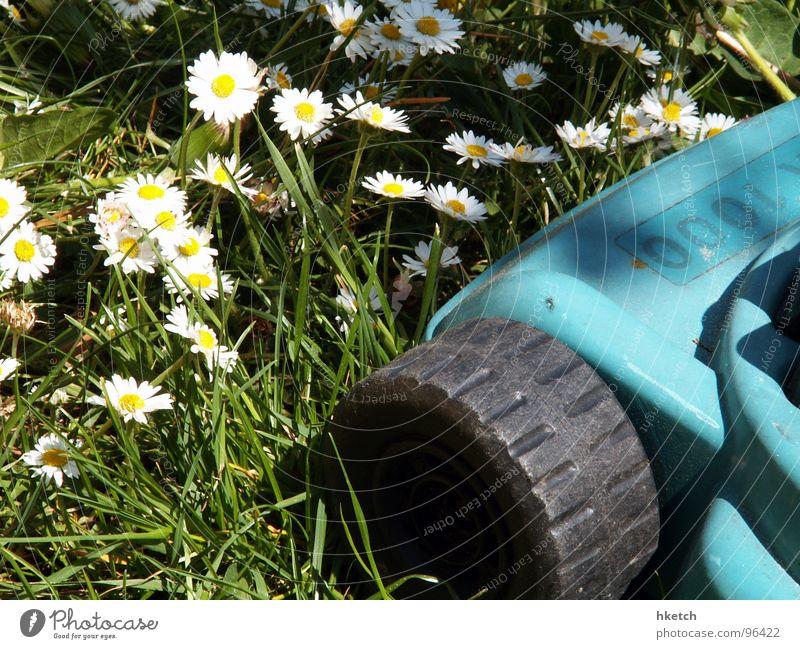 Angstgegner Gänseblümchen rasenmähen gelb grün weiß Frühling Wiese Rasenmäher frisch Blume Hoffnung schön Sonne