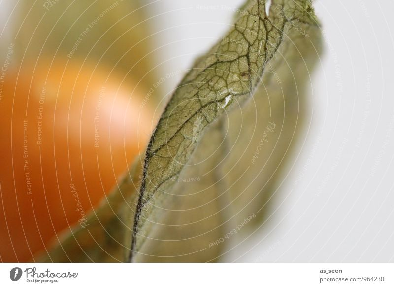 Physalis Pflanze grün ruhig Gesunde Ernährung Gesundheit Lifestyle orange Frucht Design leuchten modern ästhetisch genießen rund Wellness
