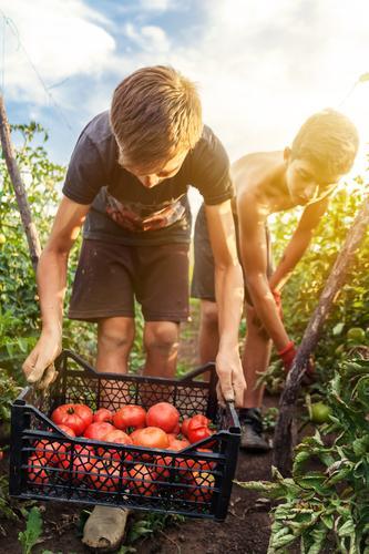 jugendliche Erntehelfer pflücken Tomaten Mensch Natur Sommer rot Leben Bewegung Junge Gesundheit Arbeit & Erwerbstätigkeit Freundschaft Zusammensein maskulin
