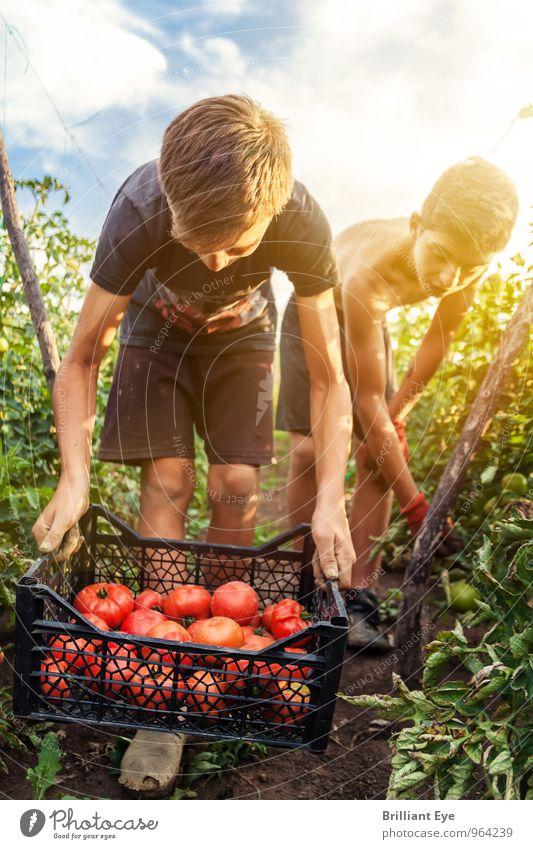 jugendliche Erntehelfer pflücken Tomaten Mensch Natur Sommer rot Leben Bewegung Junge Gesundheit Arbeit & Erwerbstätigkeit Freundschaft Zusammensein maskulin Feld authentisch Schönes Wetter Hilfsbereitschaft