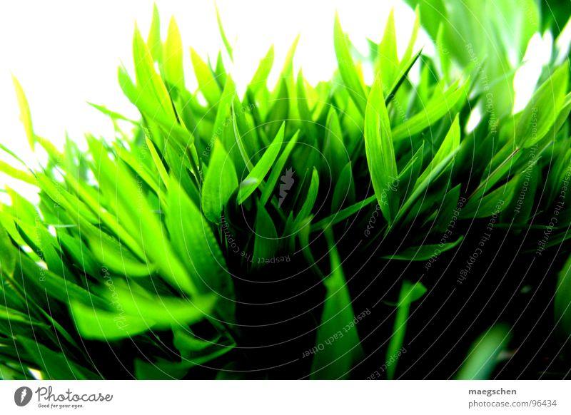 shiny grass Natur grün Pflanze Sommer Freude Gras Frühling Freiheit Gesundheit frisch Rasen Erfrischung saftig strahlend angenehm
