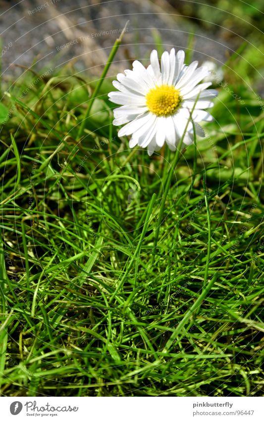 Betonblüte Frühling Sommer Blume Wiese Gänseblümchen grün weiß gelb Blüte Gras Tiefenschärfe frisch Hoffnung schön eingeschlossen gefangen Symmetrie Rechteck
