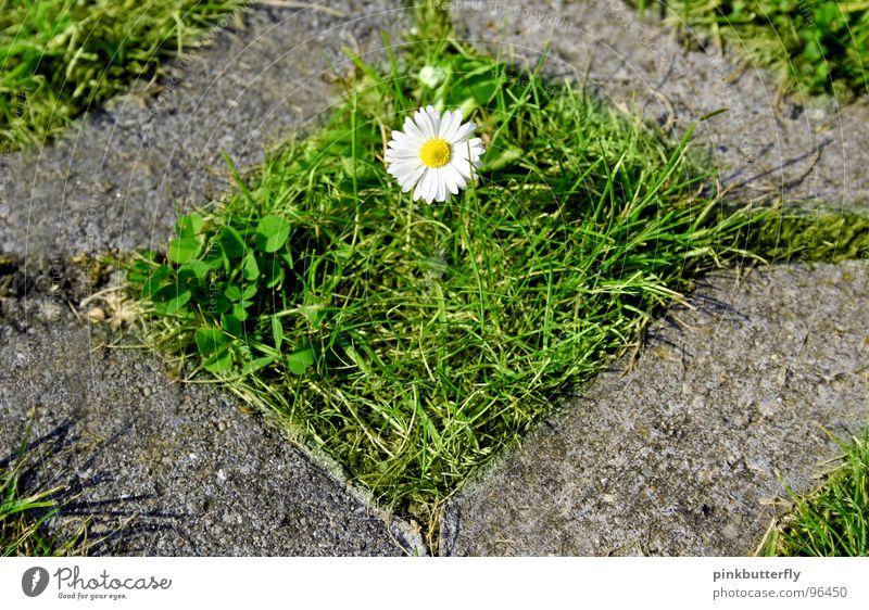 Eingeschlossene Schönheit Frühling Sommer Blume Wiese Gänseblümchen grün weiß gelb Blüte Gras Tiefenschärfe frisch Hoffnung schön Beton eingeschlossen gefangen