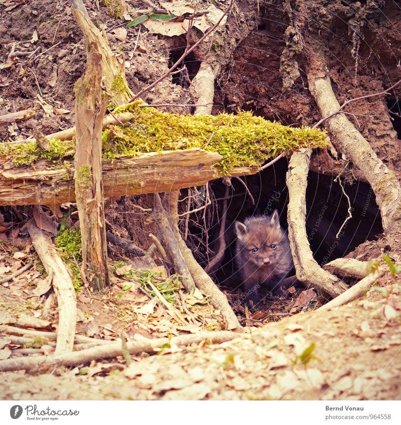 fuchsbau schön Natur Tier Wald Tierjunges klein Neugier niedlich braun grün Schutz Fuchs Erdhöhle Fuchsbau Versteck Höhle Ohr Nase Fell Wurzel Baum Farbfoto