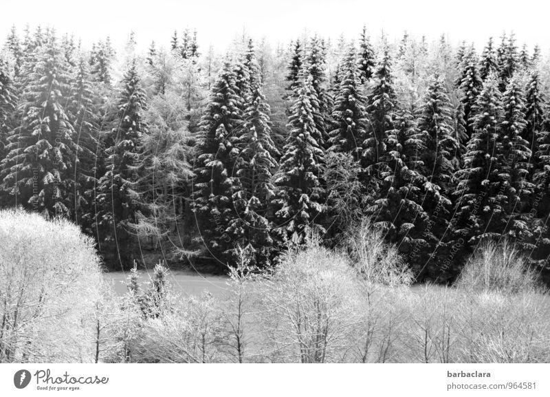 Weiß wie Schnee Himmel Winter Baum Tanne Wald Schwarzwald hell schwarz weiß Stimmung Freude Idylle kalt Klima Natur Sinnesorgane Umwelt Schwarzweißfoto