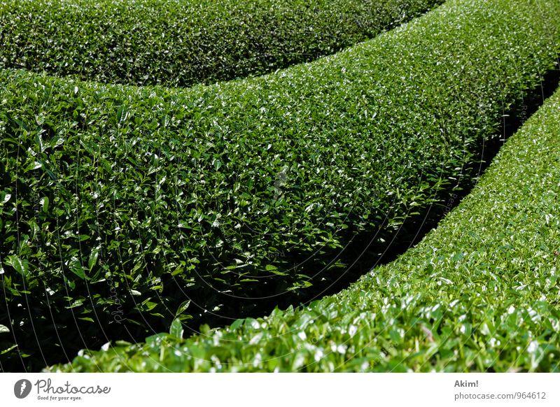 Grüne Welle Natur Pflanze grün Erholung Landschaft ruhig Gras Linie Feld Ordnung Sträucher Kultur planen Asien Tradition Tee