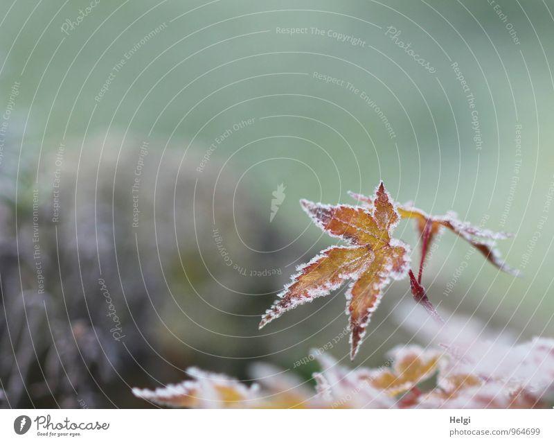 Raureif... Umwelt Natur Pflanze Winter Eis Frost Sträucher Blatt Ahornblatt Garten alt frieren dehydrieren Wachstum ästhetisch außergewöhnlich einzigartig kalt