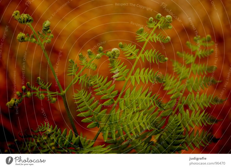 Farn Natur grün Pflanze Sommer Farbe Leben Wärme braun orange Kraft Wachstum Romantik Physik Faust Trieb Echte Farne