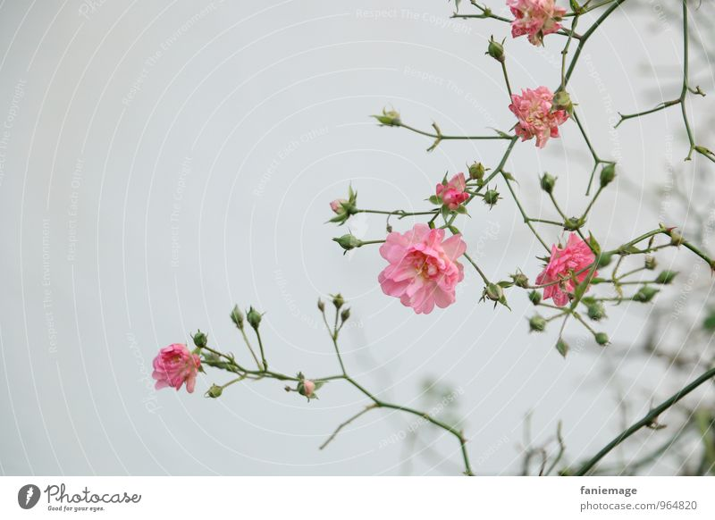 rosa Ranke I Umwelt Natur Pflanze Herbst Winter Nebel Garten Park elegant frisch grau grün Blume Rose Fahrradrahmen verzweigt Ast Blüte kalt Hoffnung