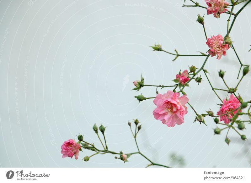 rosa Ranke II Umwelt Natur Pflanze Himmel Herbst Winter Nebel Blüte Garten Park Blühend grün grau Zweige u. Äste Blütenknospen bedeckt Rahmen Sträucher