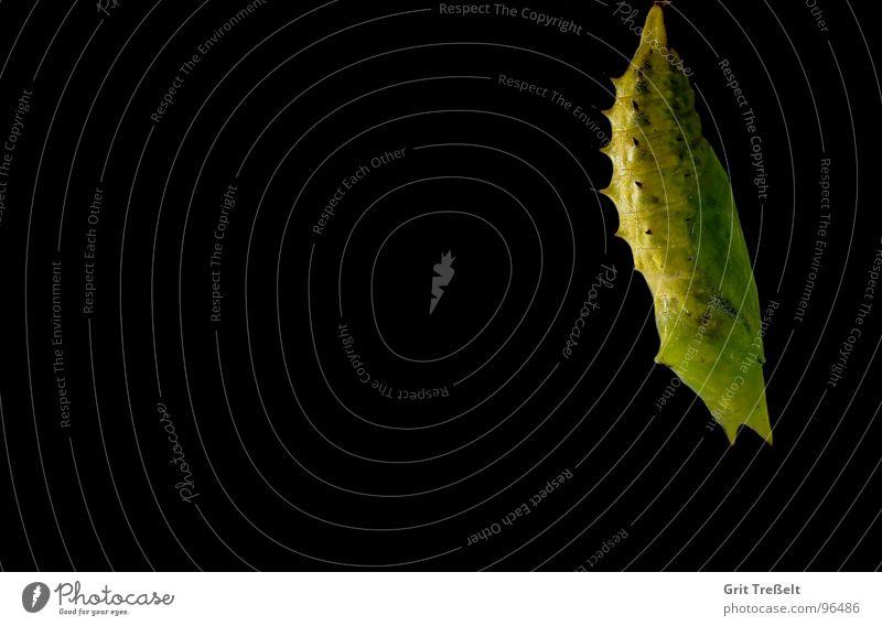 Tagpfauenaugenpuppe grün Sommer schwarz Wiese Puppe Weide Raupe
