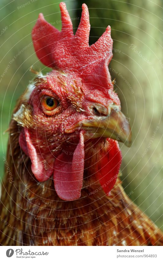 Suppenhuhn Tier rosa Krankheit Bioprodukte Nutztier Vogelgrippe