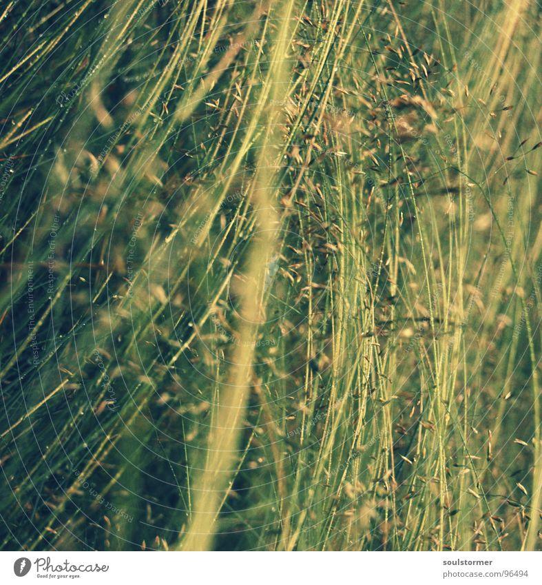 schief und krumm Gras Wals-Siezenheim grün nass Tiefenschärfe Halm Blüte gelb braun Quadrat unbequem kalt Regen Cross Processing Wasser Pflanze Bodenbelag