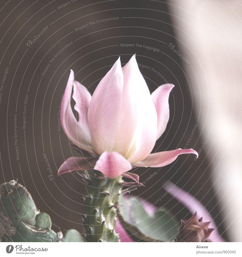 blühende Weihnacht Pflanze Winter Kaktus Blüte Weihnachtskaktus Blühend exotisch stachelig rosa edel Farbfoto Außenaufnahme Menschenleer Textfreiraum rechts