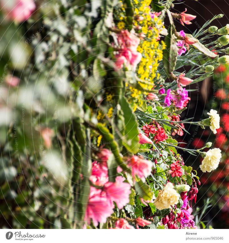 400 | Danke für die Blumen Pflanze Kaktus Balkonpflanze Balkondekoration Pelargonie Nelkengewächse Blühend Fröhlichkeit frisch mehrfarbig Farbfoto Außenaufnahme