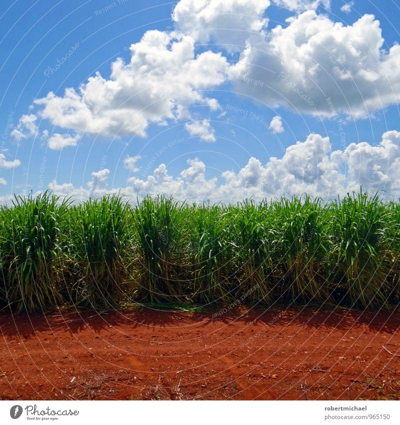 Saccharum officinarum Himmel Natur Gras Feld Wachstum Ernährung süß Boden Landwirtschaft Ernte Bauernhof Süßwaren Bioprodukte Ackerbau Wirtschaft Landwirt
