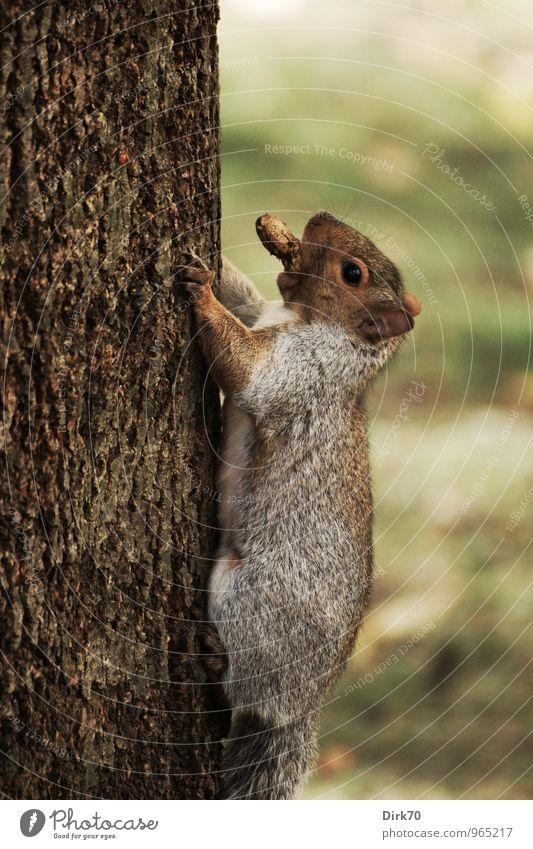 Hinauf, immer hinauf Lebensmittel Erdnuss Umwelt Herbst schlechtes Wetter Baum Baumstamm Garten Park Wiese Wald Montreal Kanada Tier Wildtier Eichhörnchen 1