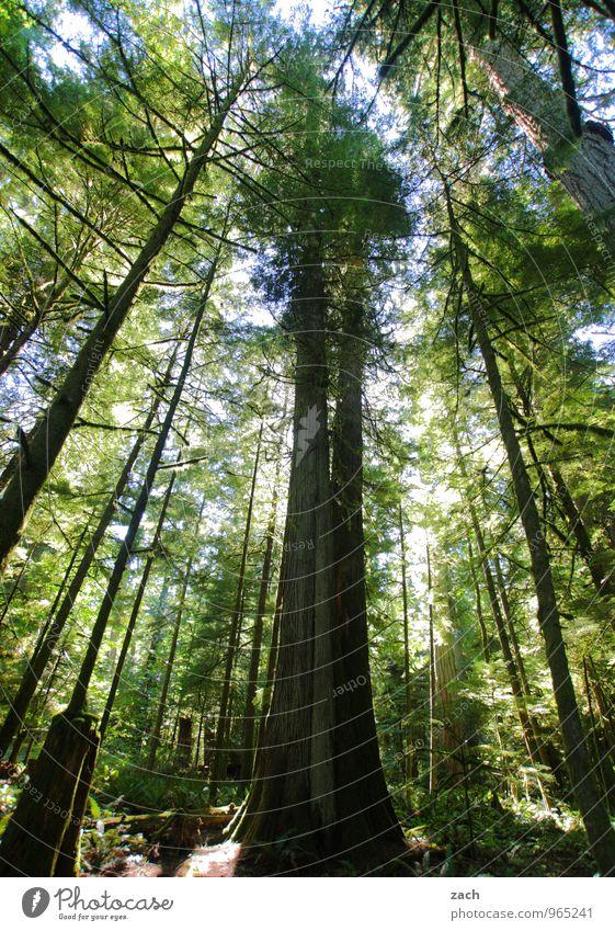 überragend Ferne Natur Pflanze Urelemente Himmel Sommer Baum Wildpflanze Zeder Nadelbaum Nadelwald Urwald Park Wald Insel Vancouver Island British Columbia