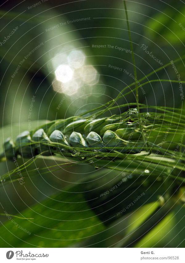 GlitzerKorn grün weiß Pflanze Gras Regen glänzend nass frisch Wassertropfen Lebewesen Landwirtschaft Ernte Ackerbau Halm silber