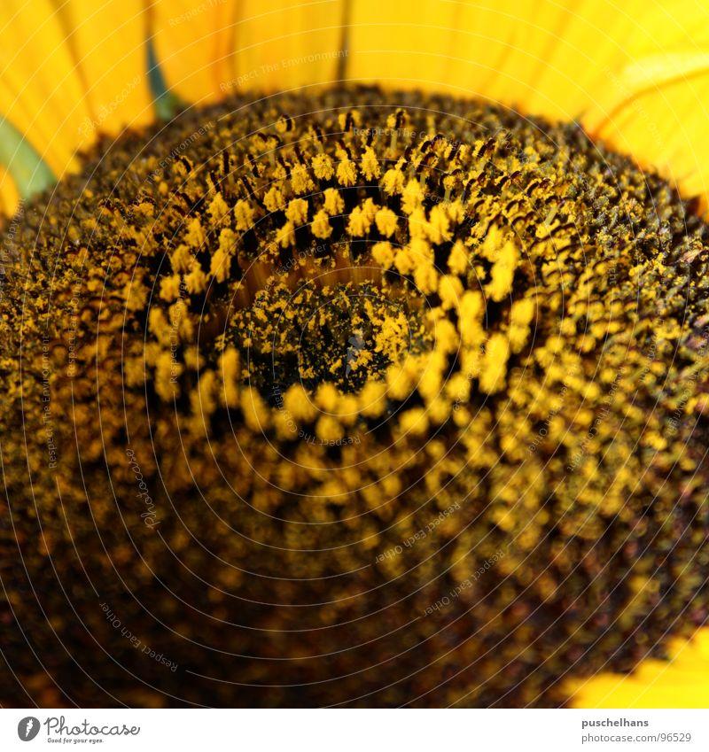 closer to sun Natur Pflanze Blume Freude gelb Wiese Glück Blüte Garten braun nah Lebensfreude Sonnenblume Pollen Staubfäden Himmelskörper & Weltall