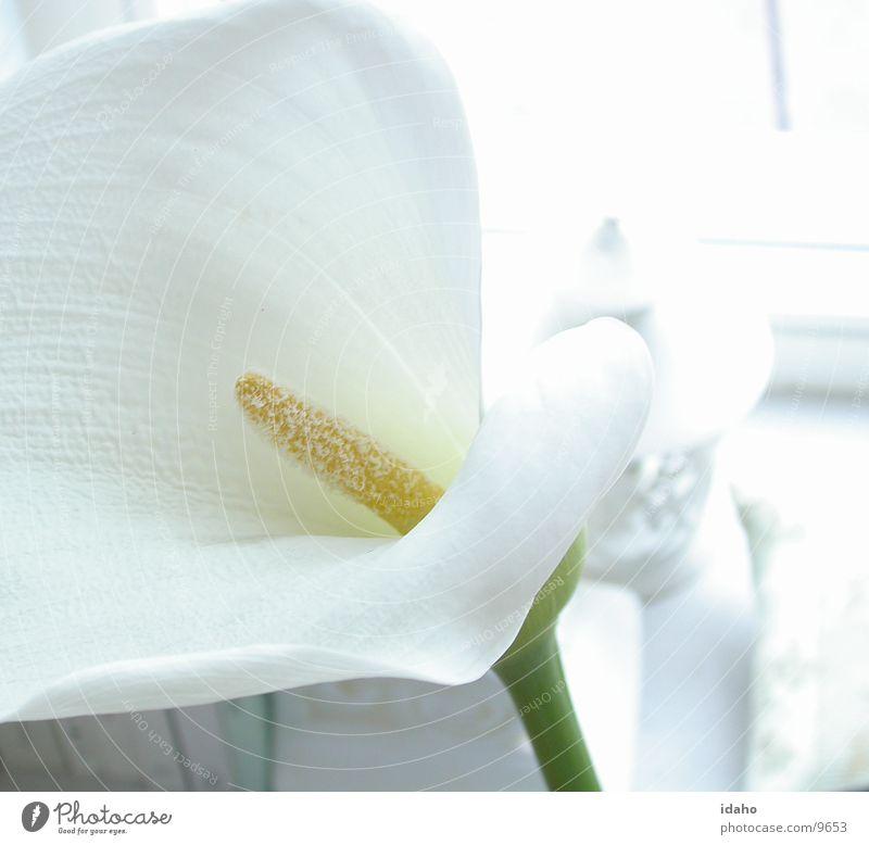Still weiß schön Pflanze Blume ruhig Blüte hell Klarheit rein Gelassenheit unschuldig Blütenstempel Calla lichtvoll farbneutral