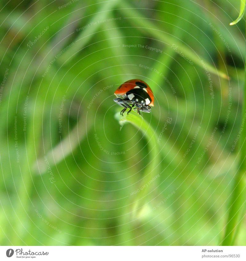 Marienkäfer *2 Natur grün rot Tier schwarz Gras klein Glück orange laufen Erfolg Geschwindigkeit Symbole & Metaphern Punkt Insekt Halm