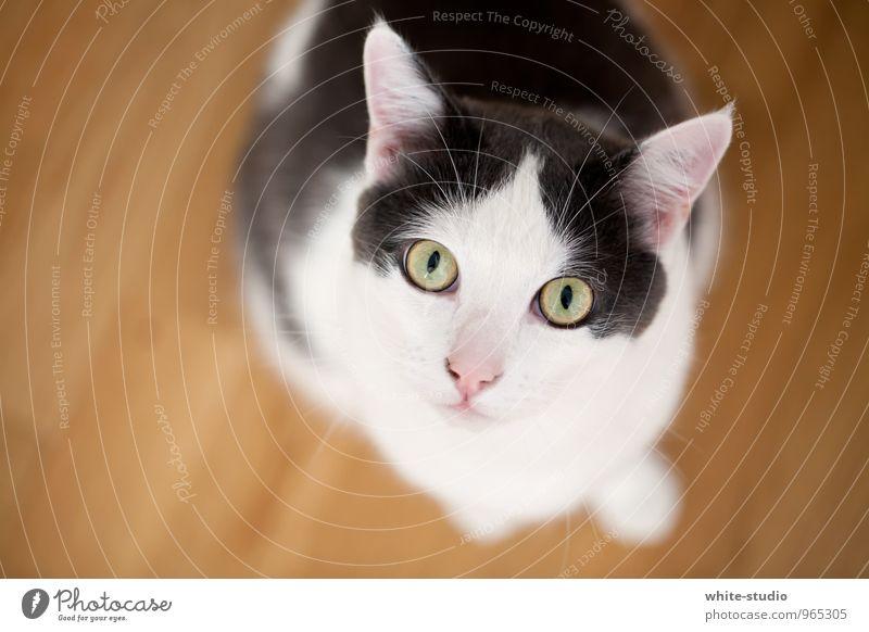 Süßkrapfen Katze schön grün weiß Tier schwarz Auge grau sitzen warten niedlich Appetit & Hunger Wachsamkeit Gesichtsausdruck Haustier Katzenauge