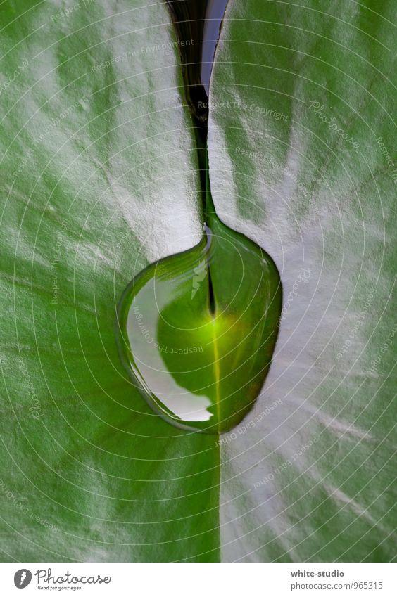 Balance Blatt Reinlichkeit Sauberkeit Seerosen Lilien Seerosenblatt Wassertropfen ruhig Ruhe bewahren Gleichgewicht Erholung Konzentration Tau Regenwasser