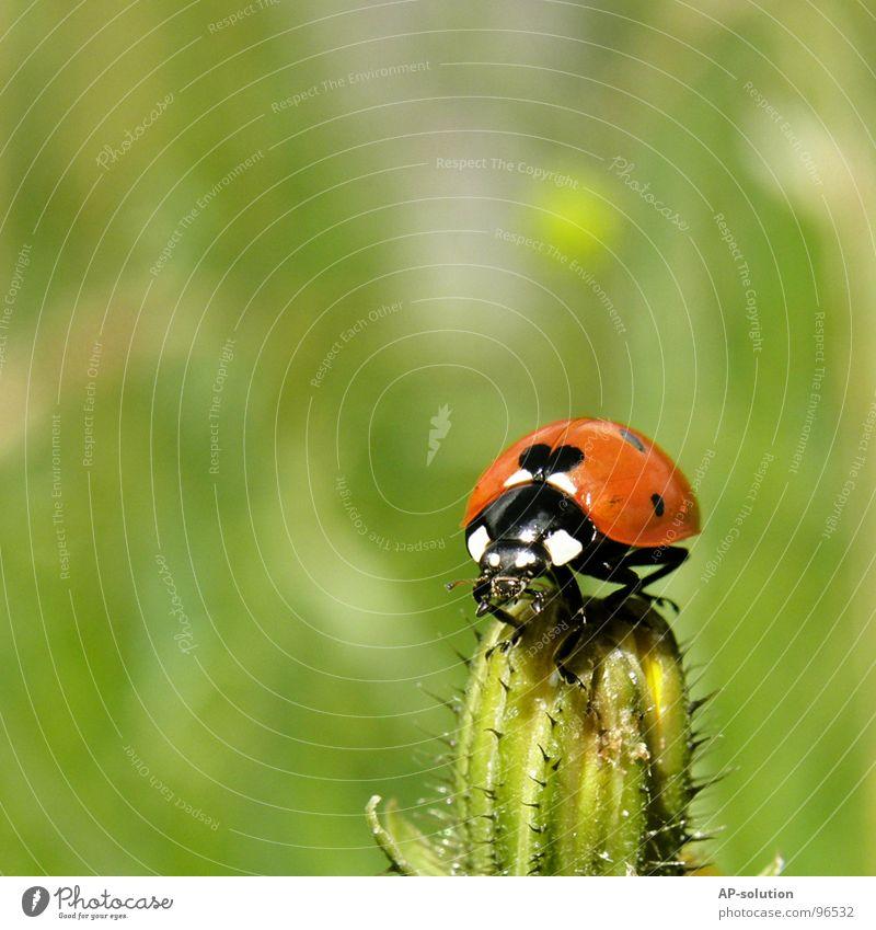 Marienkäfer *3 Natur grün rot Tier schwarz Gras klein Glück orange laufen Erfolg Geschwindigkeit Symbole & Metaphern Punkt Insekt Halm
