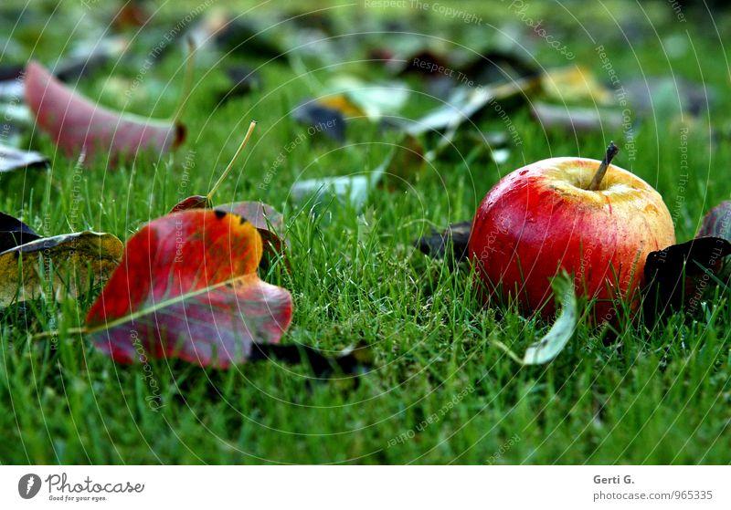 taufrisch Lebensmittel Frucht Apfel Ernährung Vegetarische Ernährung Diät Natur Garten Gesundheit glänzend nass saftig süß grün rot Stimmung Herbst Farbe Rasen