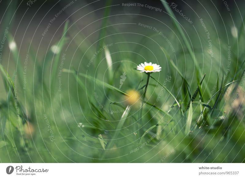 Die magere Rita Umwelt Natur Pflanze Wachstum Margerite Gänseblümchen Wiese Wiesenblume Froschperspektive Zwerg Halm Blume Einsamkeit schön Blühend Frühling