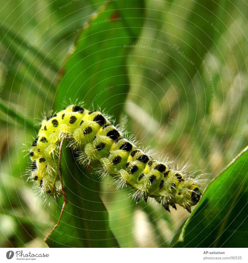 Raupe Larve Metamorphose Entwicklung krabbeln Fressen Schmetterling Hauhechelbläuling zart Fühler Tier Makroaufnahme grün gelb weiß Staub Beine flattern