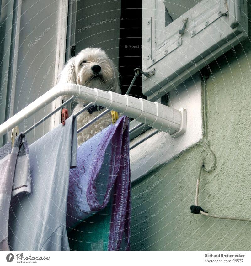 Kläffer bei der Arbeit Fenster Hund warten Säugetier Wäsche trocknen Wächter bewachen Waschtag