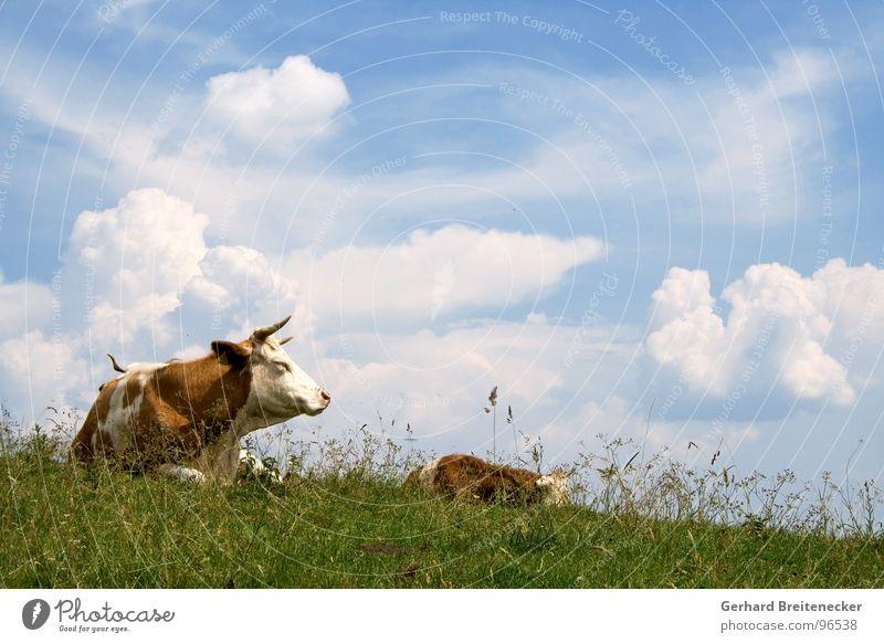 Steaks in progress Kuh Rind Alm Wolken Gras Wiese Rindfleisch ruhig Ernährung Frieden muhen Bulle Pause Aufenthalt Leder Sommer Säugetier Weide Himmel Schlacht