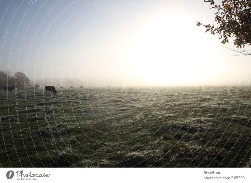 morgens auf'm Weg zur Arbeit Umwelt Natur Landschaft Pflanze Tier Sonnenaufgang Sonnenuntergang Herbst Schönes Wetter Nebel Baum Gras Feld Nutztier Kuh Rind