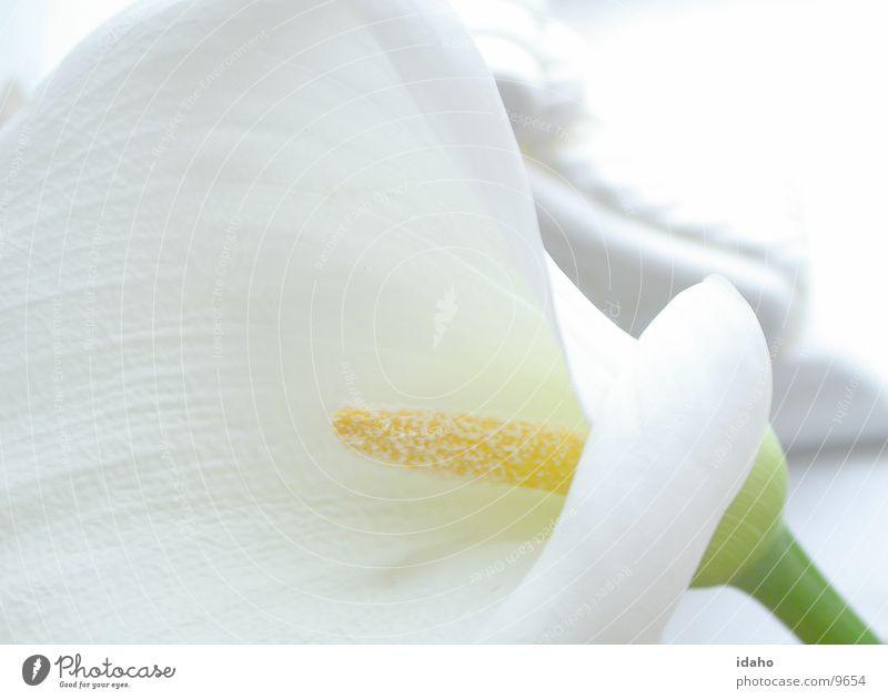 Calla Blume ruhig Pflanze Blüte unschuldig Stil farbneutral Gelassenheit weiß lichtvoll Blütenstempel Detailaufnahme rein Brautkleid Bräutigam Hochzeitstisch