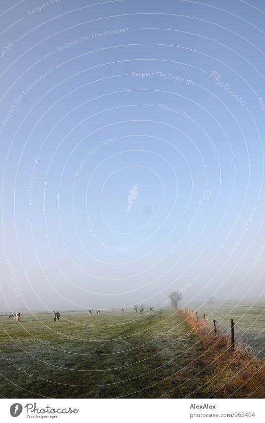 Kuh(l) Umwelt Natur Landschaft Pflanze Tier Herbst Schönes Wetter Nebel Gras Sträucher Feld Menschenleer Nutztier Rinderhaltung Herde Weidezaun Raureif Fressen